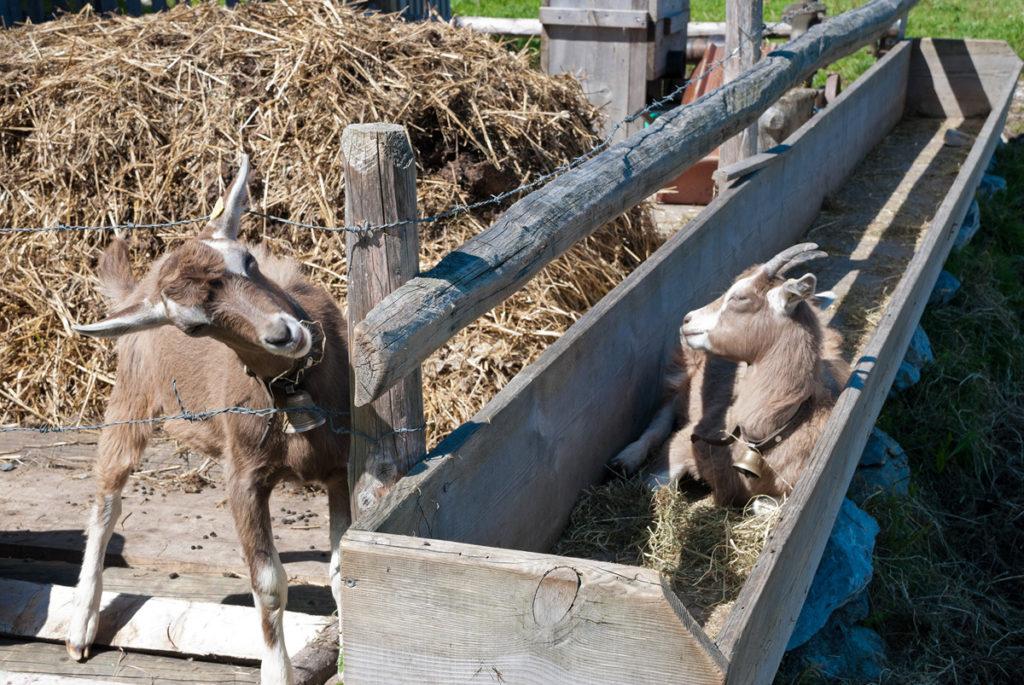 Ziegenhaltung auf dem Haldi